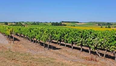 Vineyard of Pineau grapes in the Cognac region