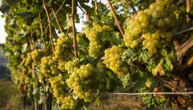 Riesling grapes in Rhine River wine region