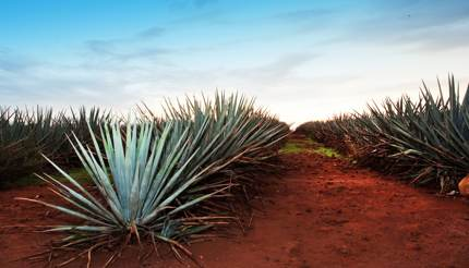 Blue agave plant in Jalisco, Mexico