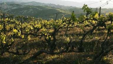 Vineyards in Bulgaria