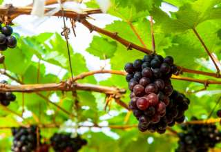 Wine grapes in PB Valley Khao Yai