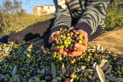 An olive harvest