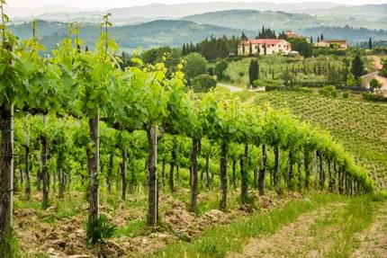 A vineyard in Tuscany