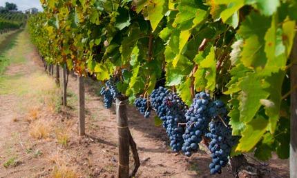 A vineyard with Aglianico grapes in Campania