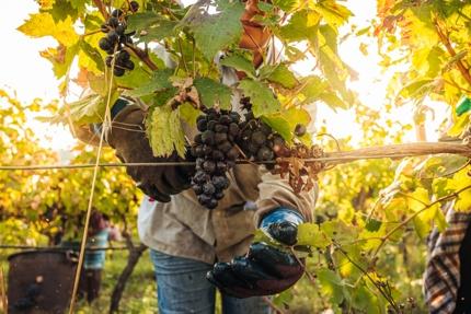 Harvesting of Primitivo grapes in Puglia