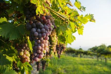 Corvina Veronese grapes
