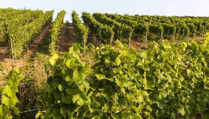 Field of Riesling grapes in Rhine region